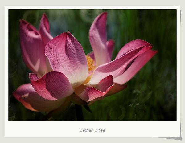 ~ I Love Lotus 爱荷 # 9 ~