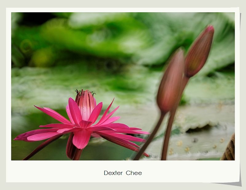 ~ Water Lily # 2 ~
