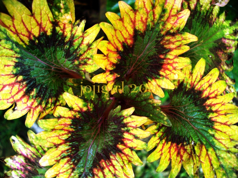 Coleus 1
