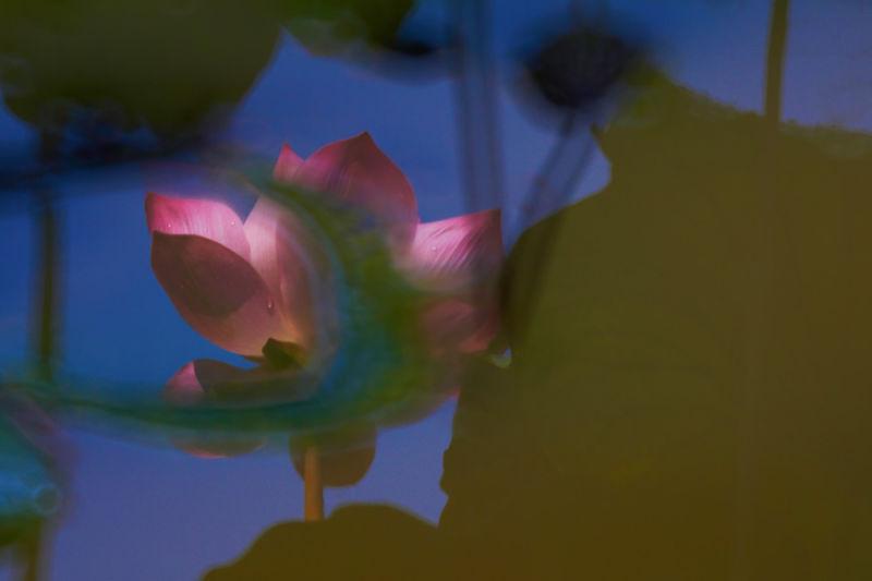 Lotus 幻