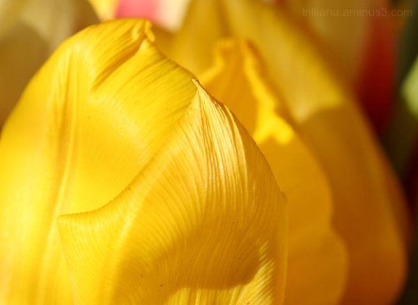 tulip season #4
