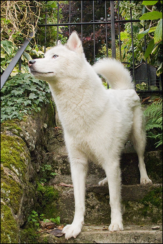 Rescue Canadian Eskimo Dog