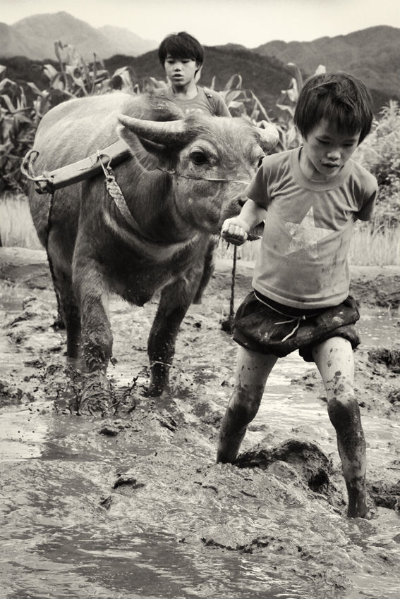 sapa children and cattle