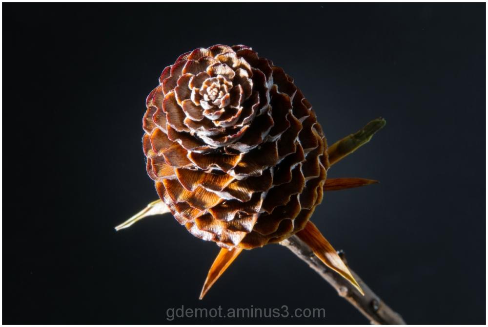Dry Flowerbud