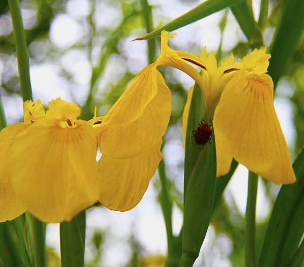 گل زنبق  3
