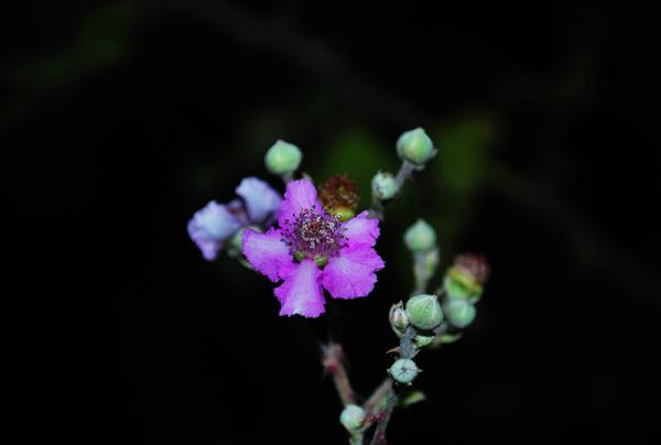 گل تمشک
