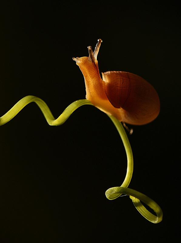 Snail, stage macro