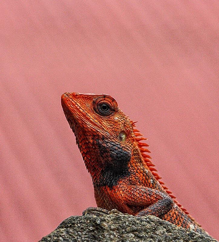 Macro, Chameleon, candid, nepal