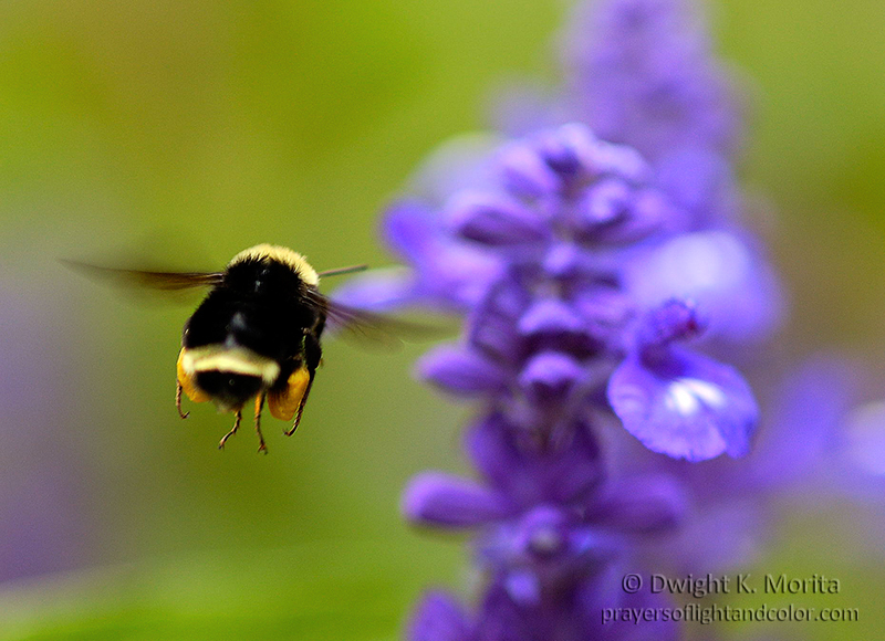 Bee flying to a flower at Point Defiance, Tacoma