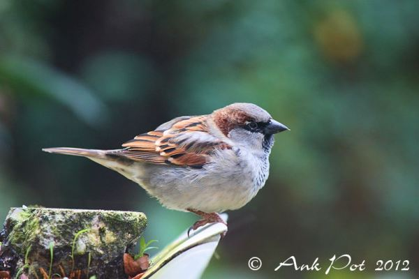 Sparrow male/Huismus man