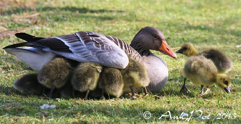 Mother goose with ducklings