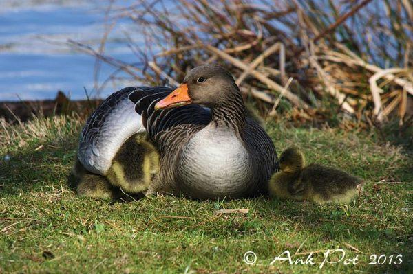 Under mothers wings/Onder moeders vleugels