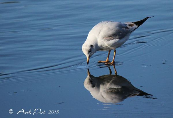 seagull on thin ice
