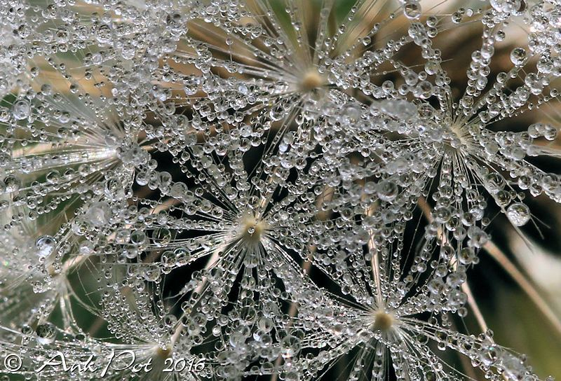 Dewdrops on a dandelion