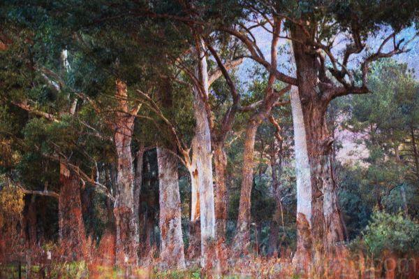 Eucalyptus trees with texture