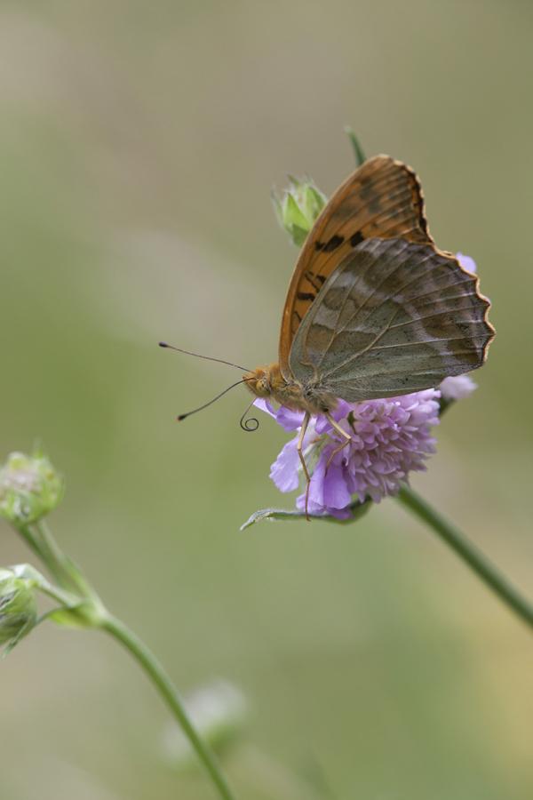 Rohetäpik, Argynnis paphia