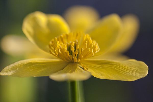 Varsakabi, Marsh Marigold, Caltha palustris.