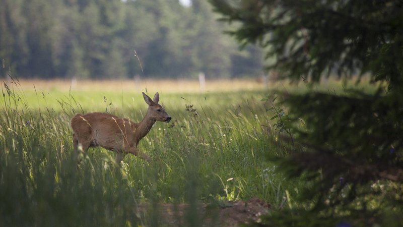 Metskits, Roe Deer, Capreolus capreolus.