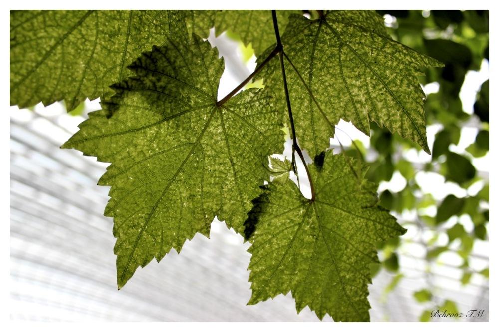 ... برگ درختان سبز