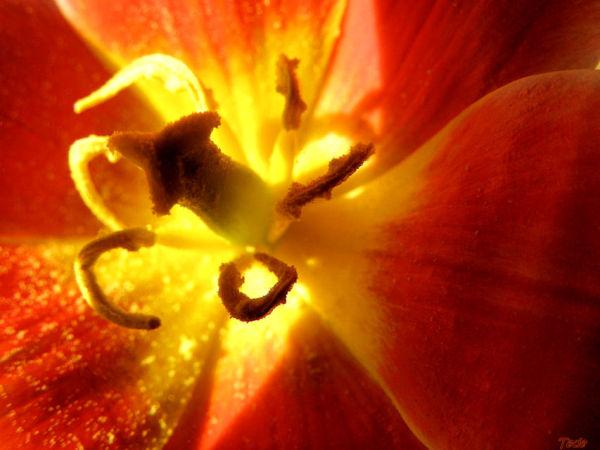 Cette fleur toute d'or, de lumière et de soie...