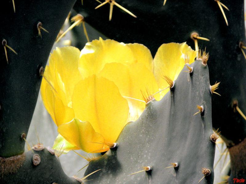 Fleur de cactée