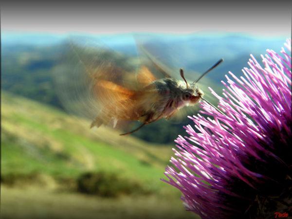 Le moro-sphinx ou colibri