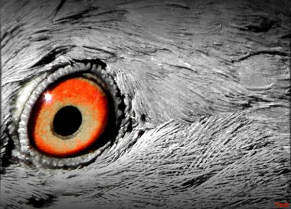 L'oeil de pigeon