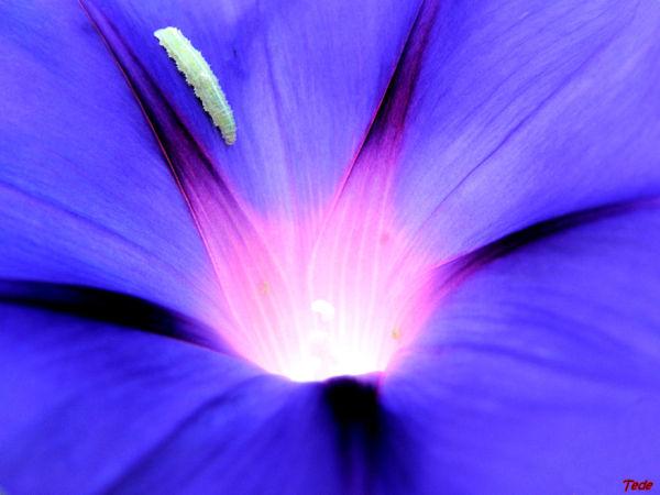 Fleur de volubilis
