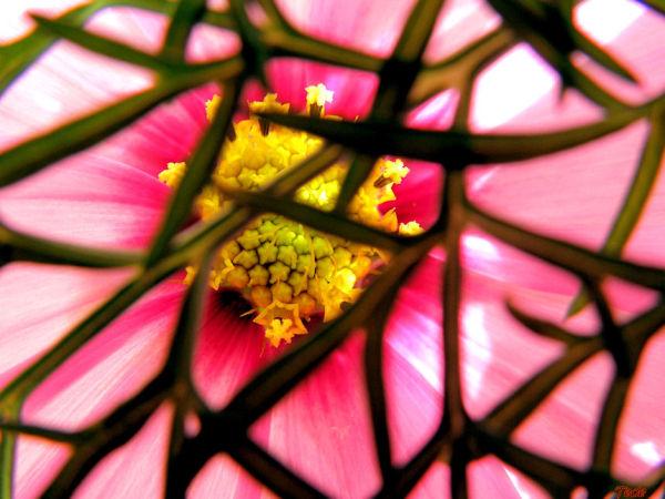 Fleur de cosmos emprisonnée