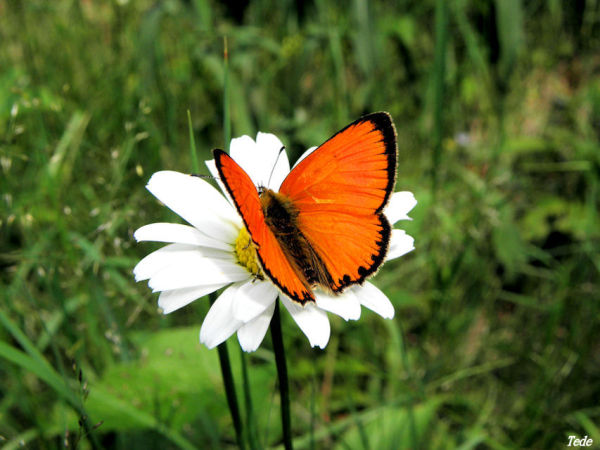 Le papillon orange