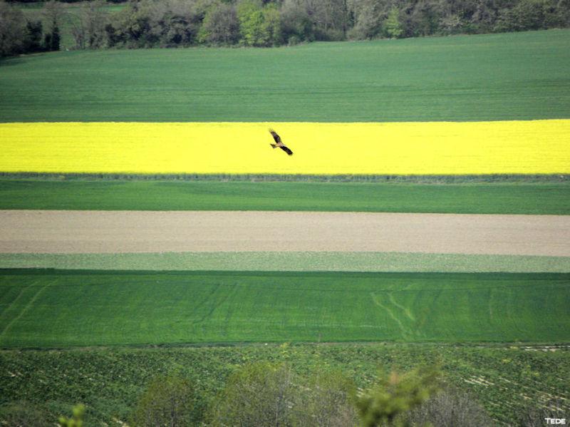 L'oiseau et le champ de colza