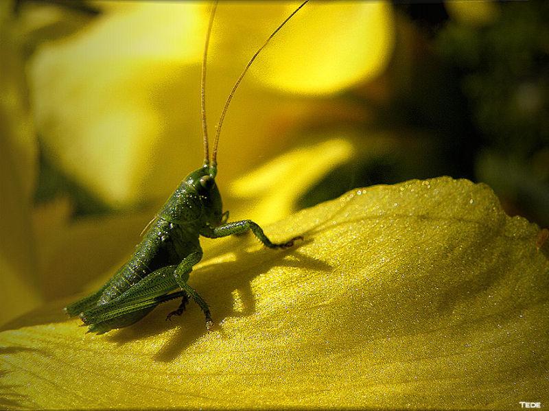 La sauterelle et l'iris