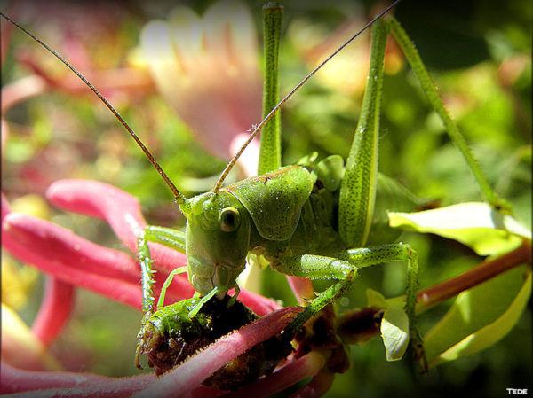 La grande sauterelle verte