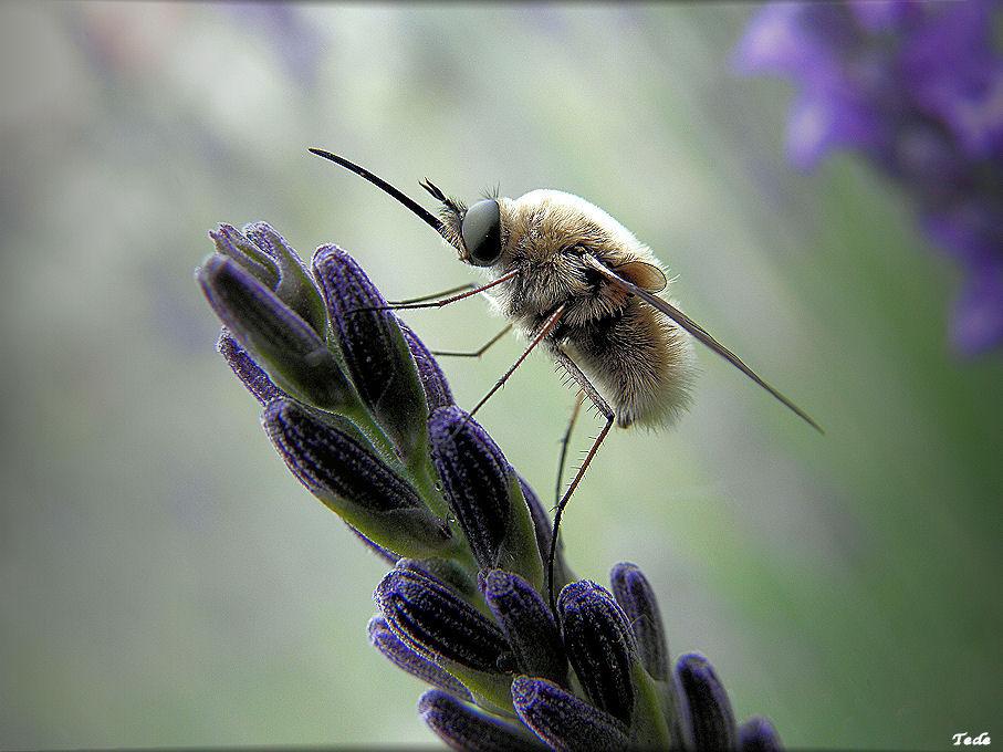 boule de poil avec deux ailes animal insect photos tede photoblog. Black Bedroom Furniture Sets. Home Design Ideas