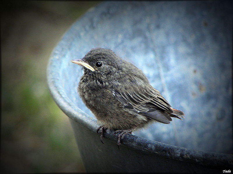 Petit oiseau queue rousse