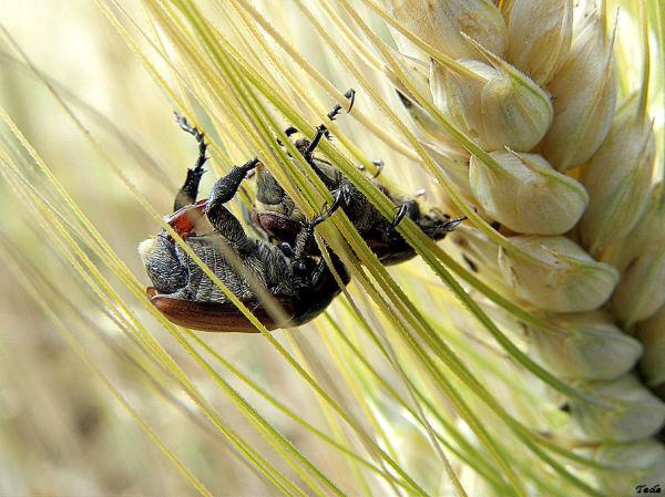 Hannetons dans un épi de blé