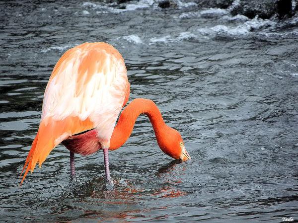Le flamant rose à la pêche
