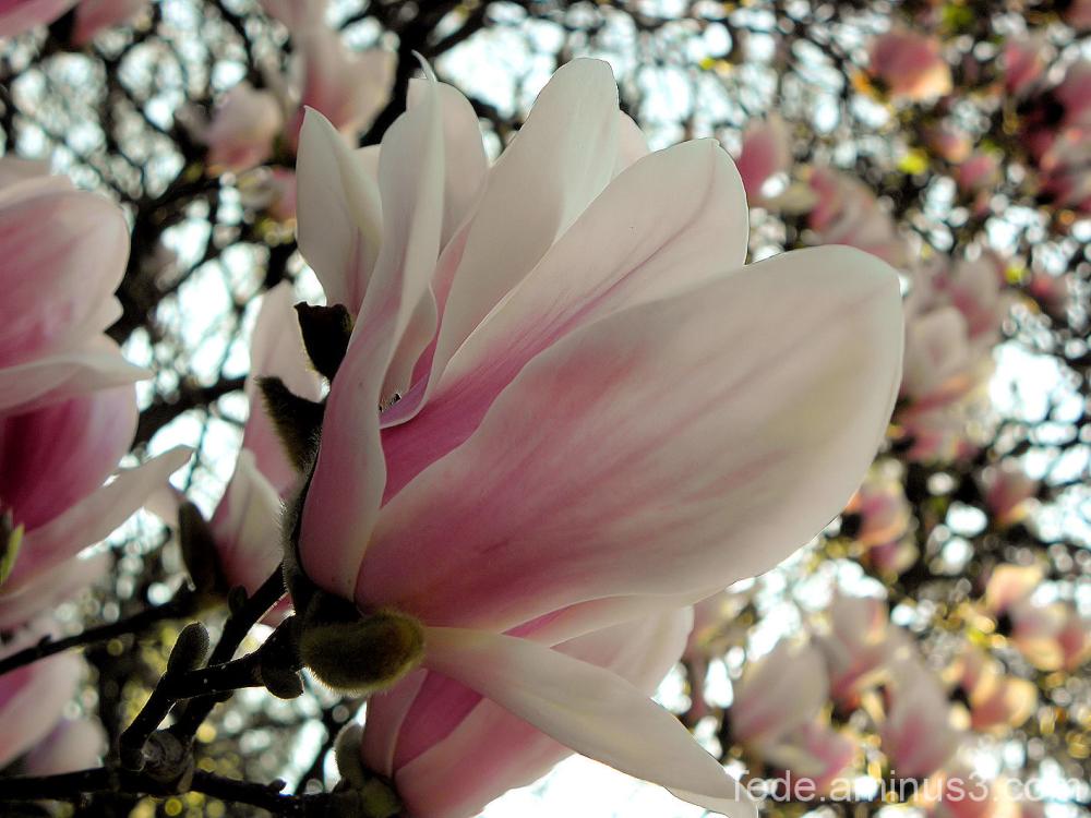 Fleur de tulipier