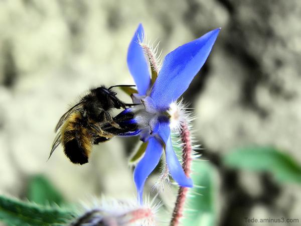 Abeille et fleur de bourrache