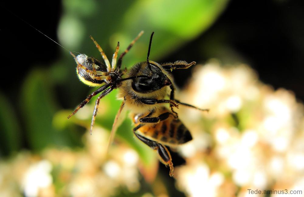 L'abeille et la thomise