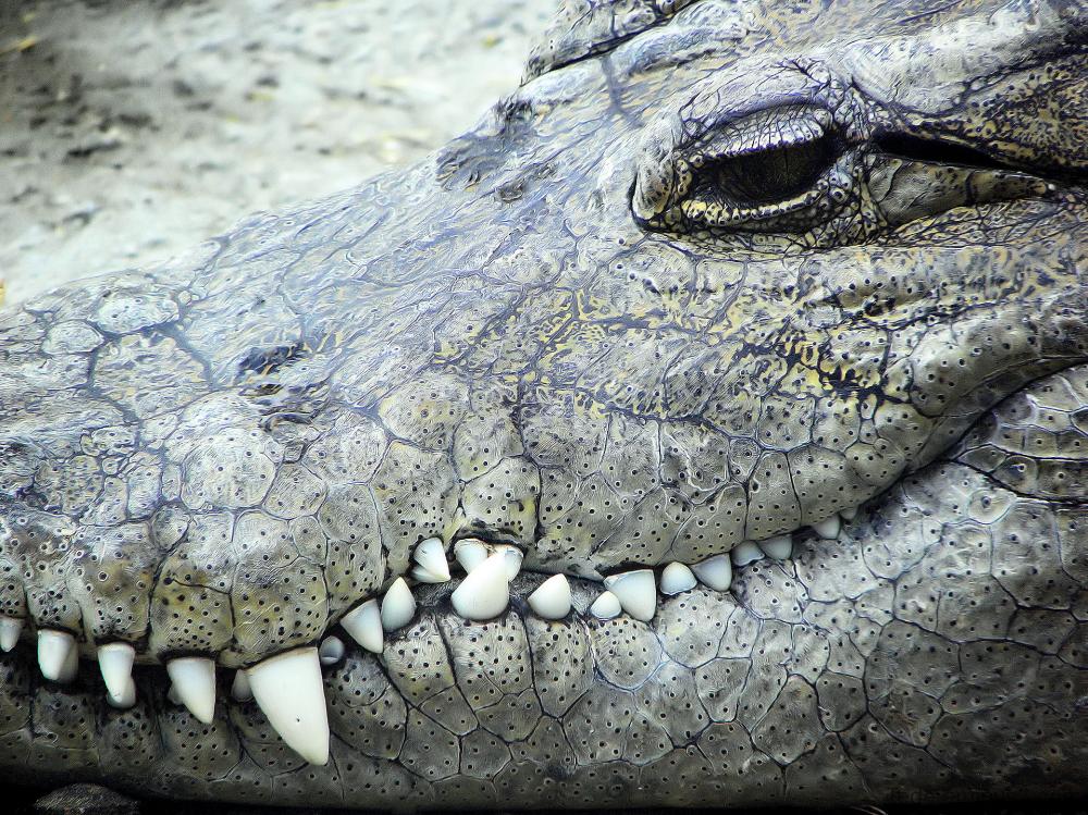 La crocodile
