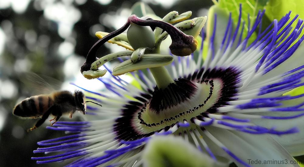 Fleur de la passion et abeille