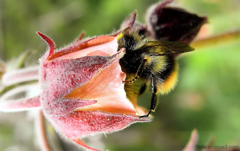 Buveur de nectar