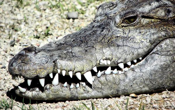 Sourire de crocodile