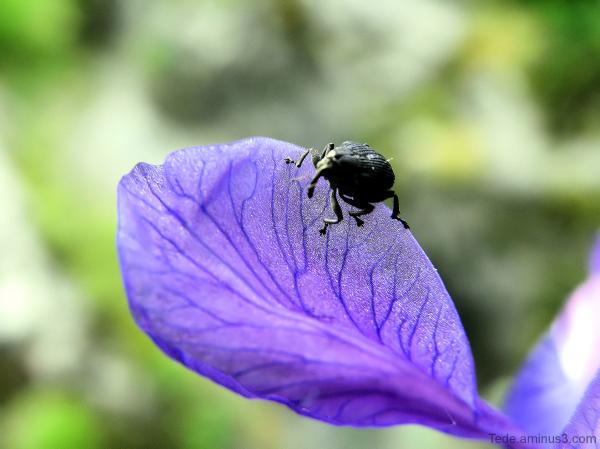 Charançon sur une fleur
