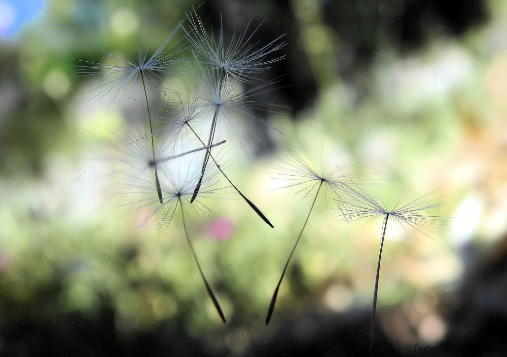Akènes au gré du vent