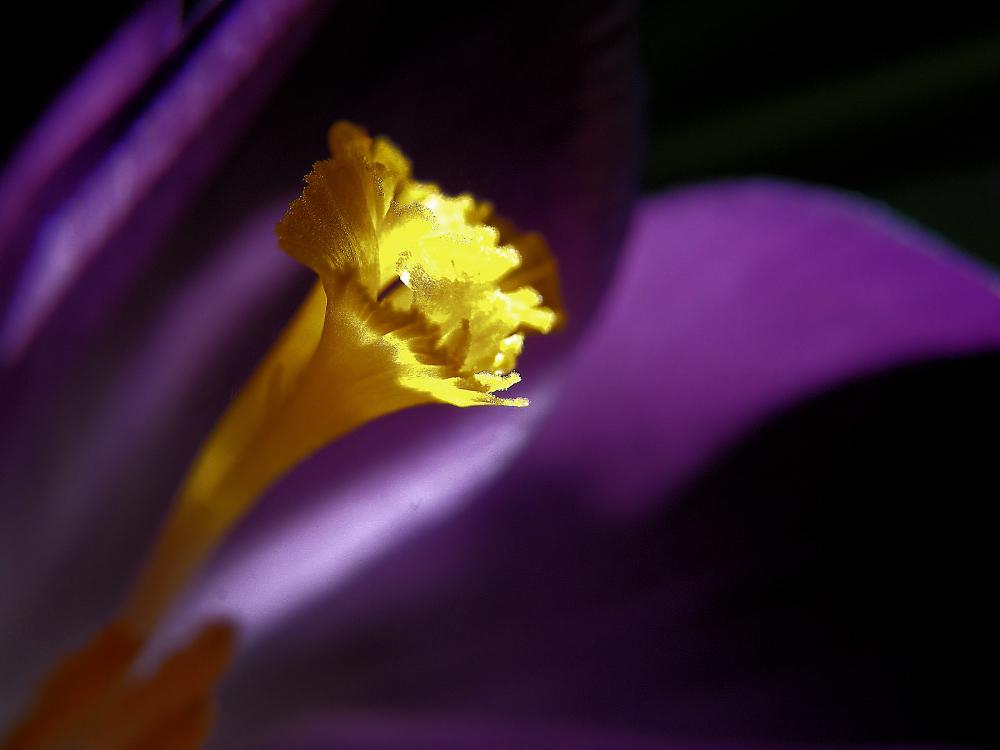 Fleur de crocus