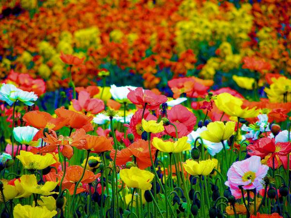 Fleurs de pavot
