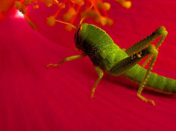 Green  cricket ...
