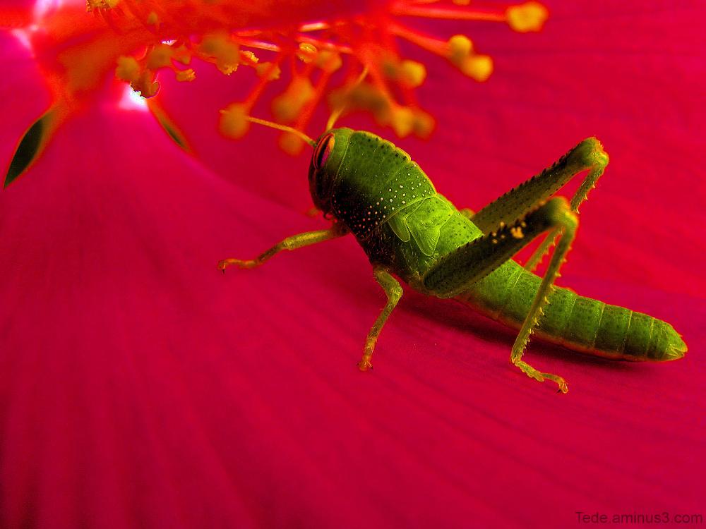 Criquet vert